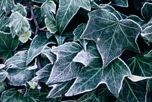 Frosted Ivy Leaves In The Late...