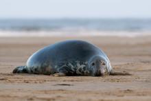 Female Atlantic Grey Seal (Hal...