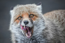 Portrait Of Red Fox Yawning