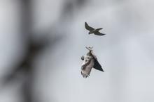 Bonelli's Eagle And Peregrine Falcon, Shows The Talons