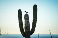 Lone Cardon Cactus With Lone B...