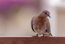 Laughing Dove Looking Into The...