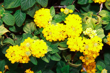Natural Yellow Lantana Flowers...