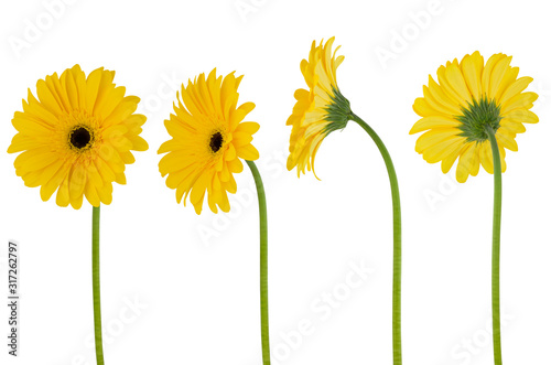 Obraz Isolated gerbera. Four yellow flower gerberas on a stem isolated on white background - fototapety do salonu