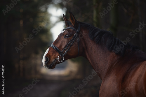 Fototapeta close up portrait of stunning trakehner gelding sport horse boy with white line on road in forest obraz