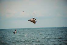 Pelicans On The Gulf Of Mexico