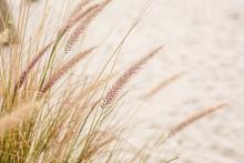 Close Up Beach Wheat Field Wit...