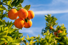 Tarocco Oranges On Tree Agains...