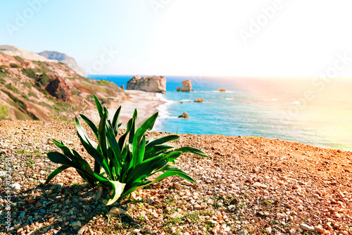 Stampa su Tela WIld plant near seashore and pebble beach by Petra tou Romiou rocks in Cyprus is