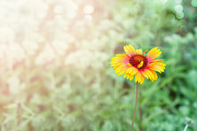 Colorful Gaillardia Flower On ...