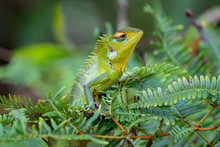 Common Green Forest Lizard (Ca...