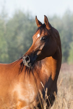 A Chestnut Arabian Horse Look Back Against Summer Background. Portrait Closeup