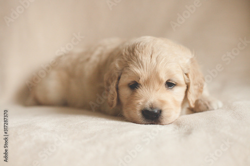 Papel de parede sleepy golden retriever puppy