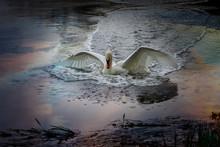 Swan Bird Landing Splashing  W...