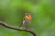 Portrait of a European robin (Erithacus rubecula).