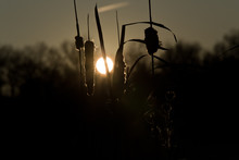 Softly Silhouetted Cattails An...