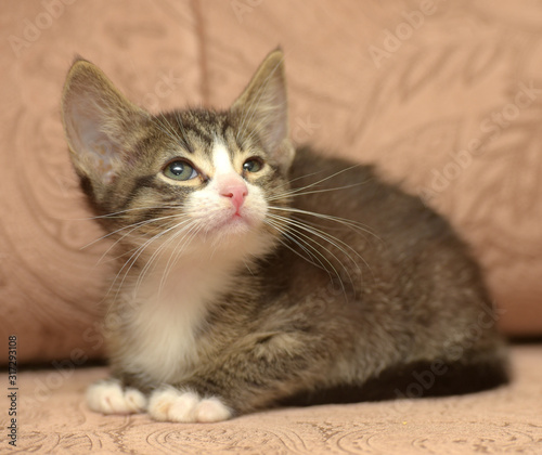 Fototapety, obrazy: little striped kitten with big ears on a brown background