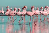 Dzikie ptaki afrykańskie. Grupowe ptaki różowe afrykańskie flamingi spacerujące po błękitnej lagunie w słoneczny dzień