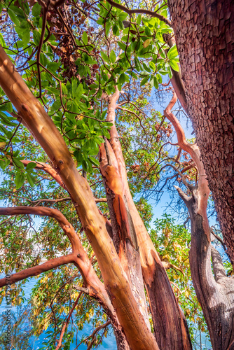 Abstract red Arbutus and green tree background in Vancouver, Canada Canvas Print