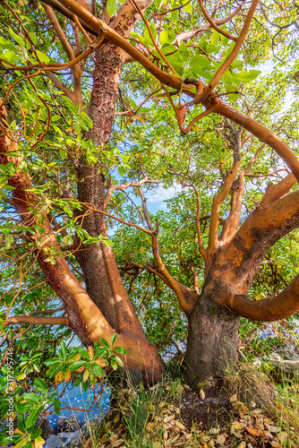 Photo Abstract red Arbutus and green tree background in Vancouver, Canada