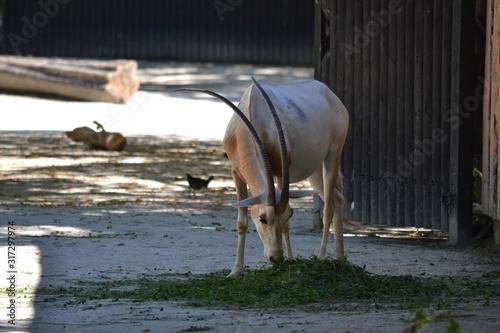 Fototapety, obrazy: Gazelle