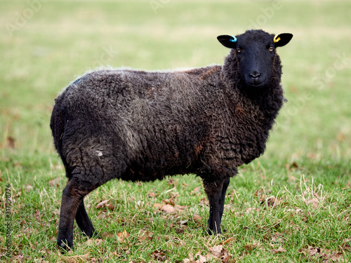 A black welsh mountain sheep ewe grazing in a field at Wentworth Castle parkland Canvas Print