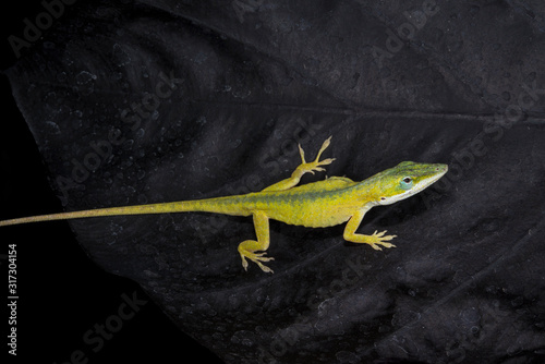 Yellow anole lizard on leaf Tablou Canvas