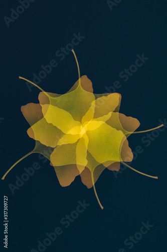 yellow ginkgo biloba leaves abstract pattern