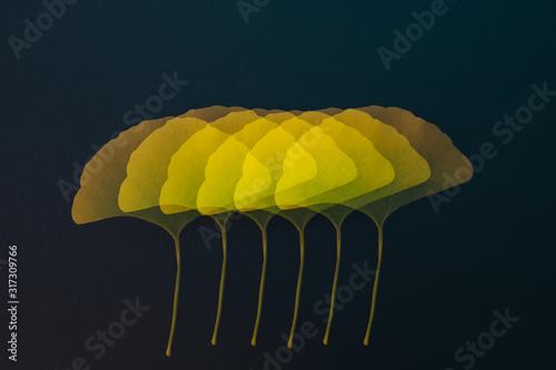 yellow ginkgo biloba leaves layered