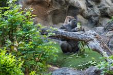 Gorilla Al Parco
