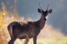 Young Red Deer In Forest On Fo...