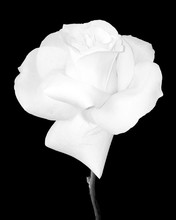 Close Up Of White Rose
