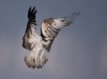 Osprey (pandion Haliaetus) In Flight ,Jezreel Valley
