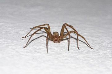 Specimen of violin spider within the home walls