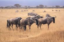 Ñu En Sabana Africana (Kenia)
