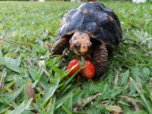 Baby Red Footed Tortoise Looking At Half Eaten Strawberry. Tortoise Has Slight Pyramiding.