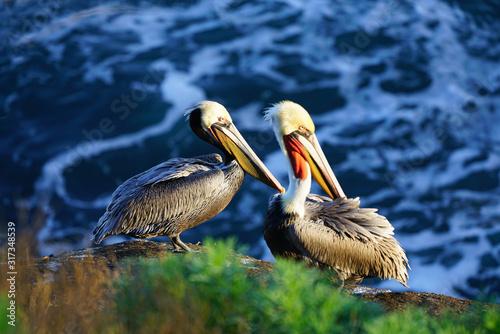 Photo View of wild brown California pelicans (Pelecanus occidentalis californicus) in