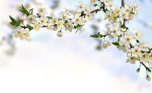 Blooming Cherry Plum Tree, Flo...