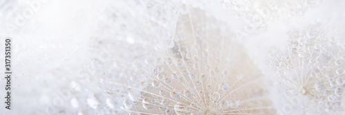 Fotografie, Obraz Beautiful dew drops on a dandelion seed macro