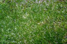 Green Bright Grass, Strewn Wit...