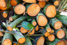 Pear Firewood Logs Left For Dr...