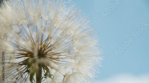 dandelion at sunset . Freedom to Wish. Dandelion silhouette fluffy flower on sunset sky #317359111