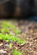 Grass growing in a garden. Close-up, selective focus.