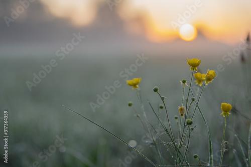 Fototapeta Żółte kwiaty na tle wschodzącego słońca obraz