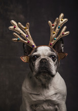 Beautiful French Bulldog With Golden Reindeer Antlers With Tassels Of Gray Colors On A Gray Background. Christmas Concept.