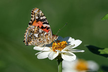 Painted Lady Or Vanessa Cardui...