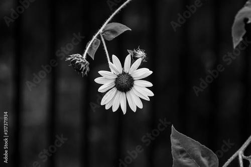 Fototapeta Sunflower hanging from stem in black and white