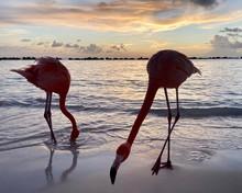 Flamingo At Aruba Sunset