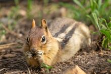 Golden-mantled Ground Squirrel...