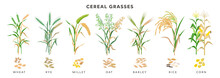 Cereal Grasses Big Collection Of Plants And Seeds, Botanical Drawings In Flat Design Isolated On White Background. Cereals - Wheat, Rye, Oat, Millet, Barley, Maize, Rice Planting Infographic Elements.